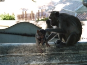 4 mother and baby monkey in phetchaburi