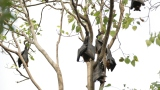 Fruit Bats of Chachoengsao