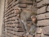 Lopburi – a must do Monkey experience!